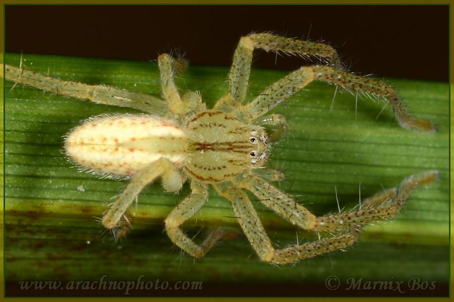 <em>Micrommata virescens</em>