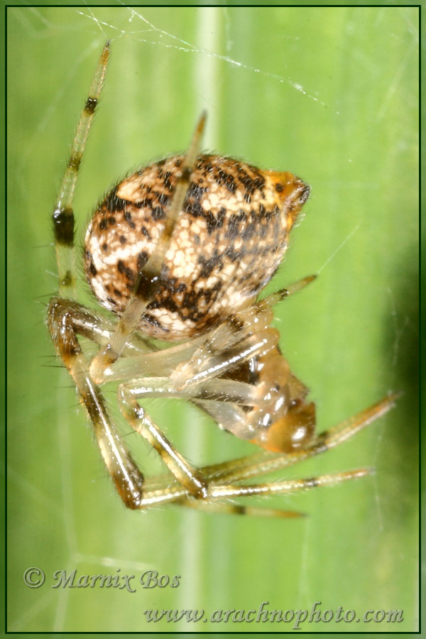 <em>Parasteatoda tepidariorum</em>