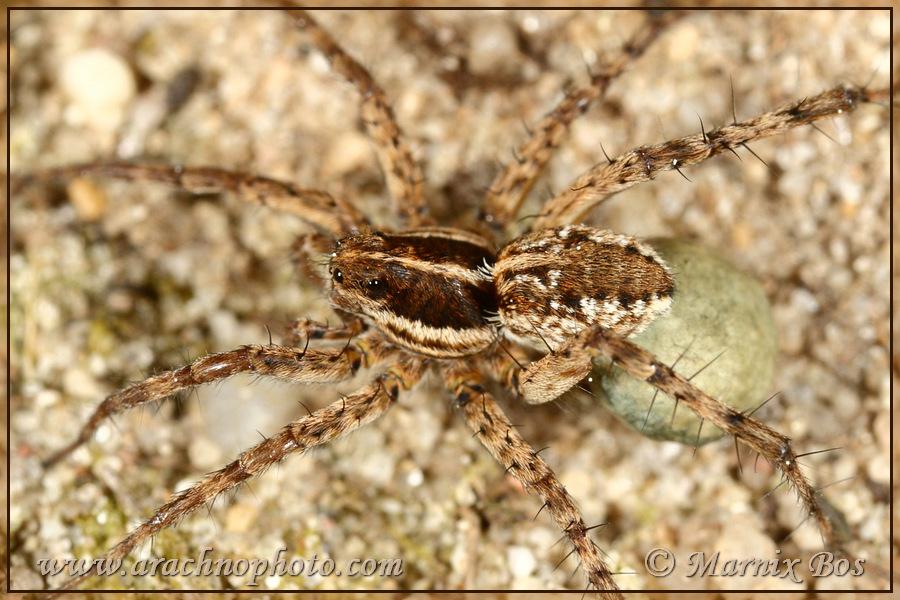 <em>Pardosa monticola</em>
