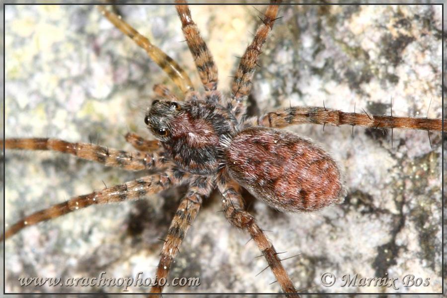 <em>Pardosa tatarica</em>