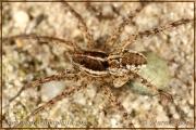 Pardosa monticola