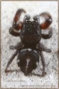 Pellenes nigrociliatus