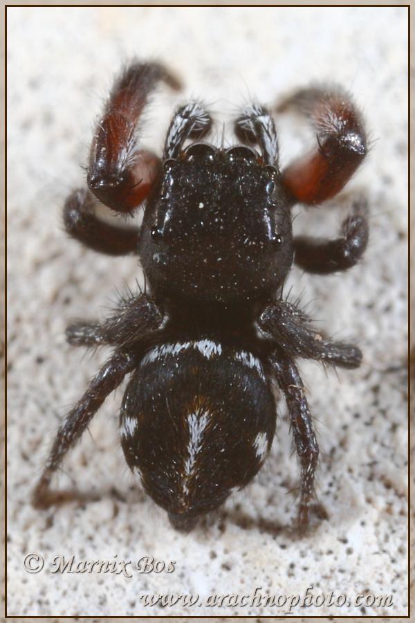 <em>Pellenes nigrociliatus</em>