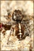 Pellenes tripunctatus