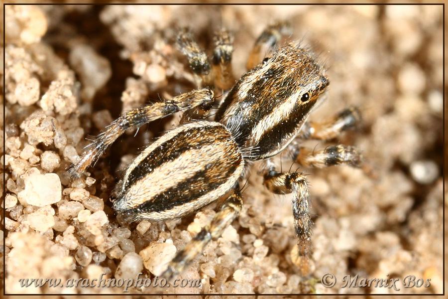 <em>Phlegra fasciata</em>