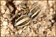 Phlegra fasciata