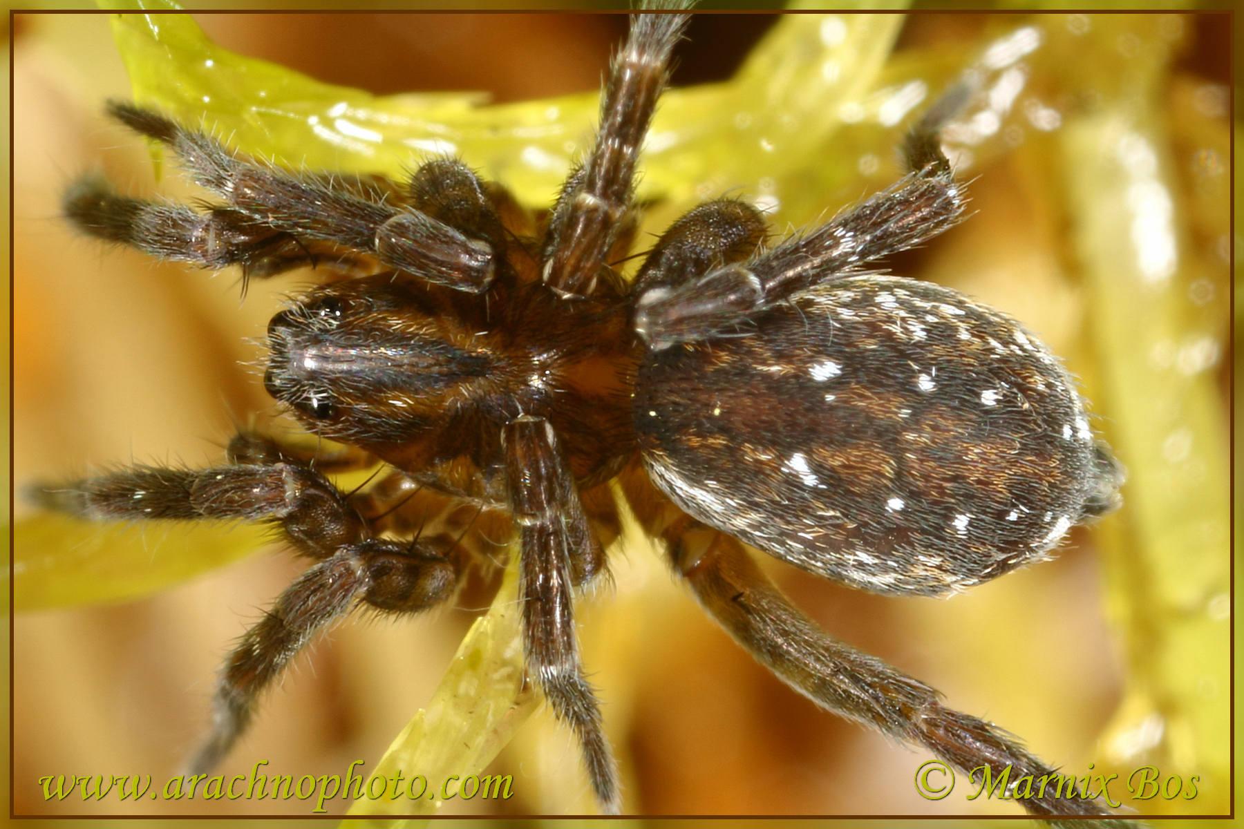 <em>Piratula hygrophila</em>