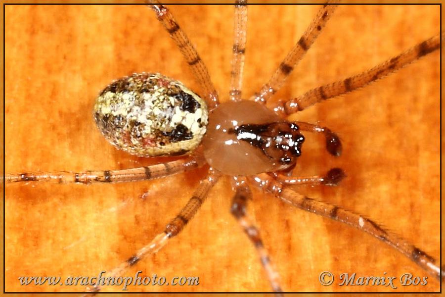 <em>Platnickina tincta</em>