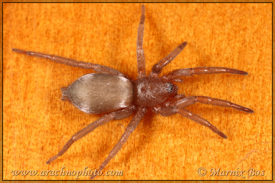 <em>Scotophaeus scutulatus</em>