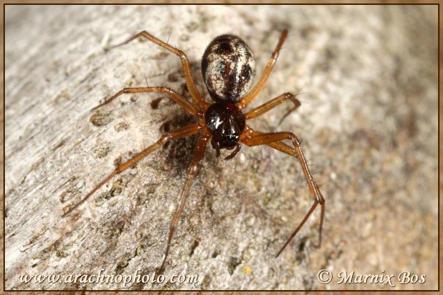 <em>Tenuiphantes tenuis</em>