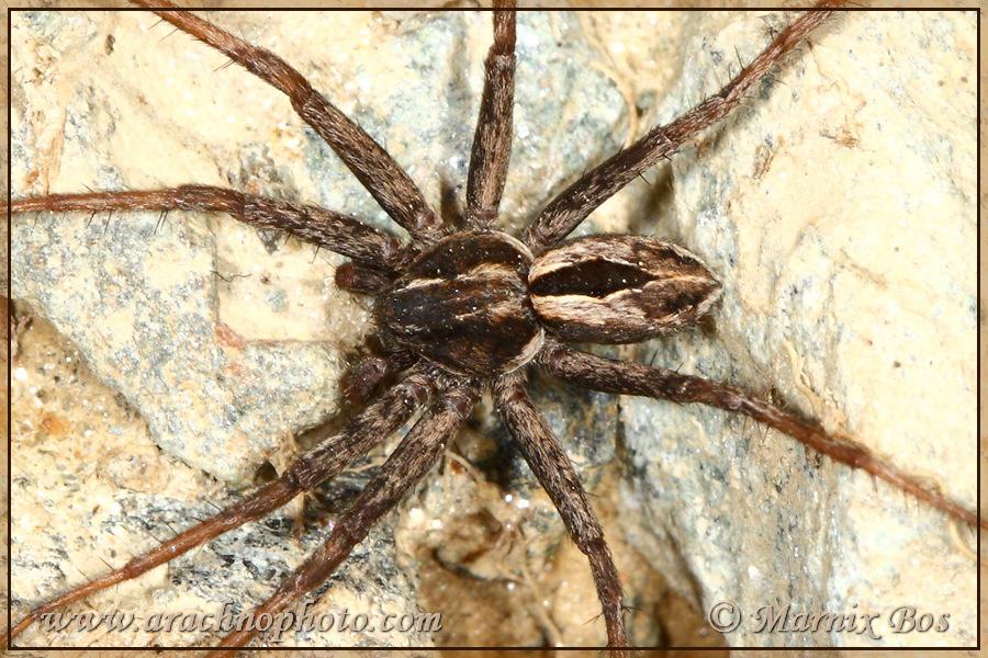 <em>Thanatus coloradensis</em>