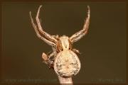 Xysticus cristatus