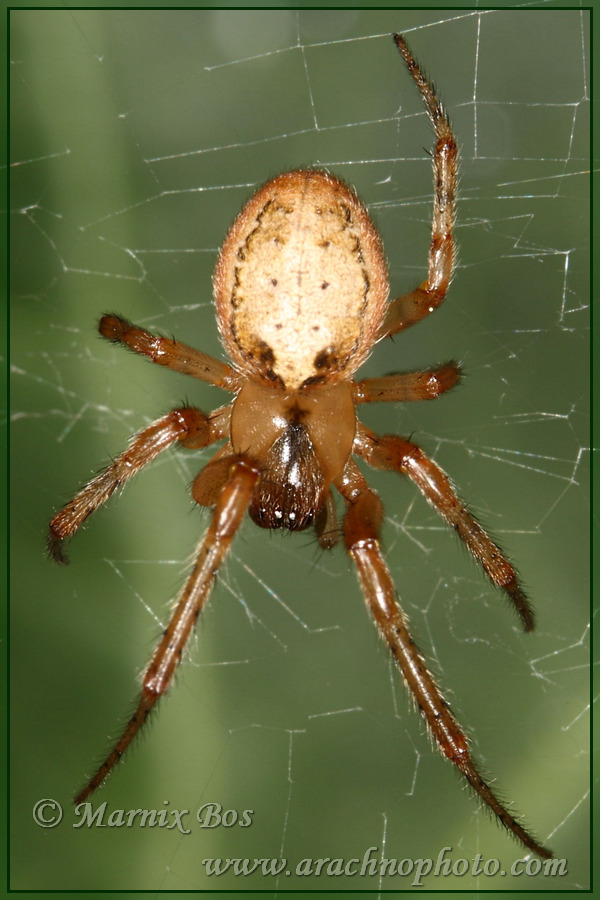 <em>Zygiella atrica</em>
