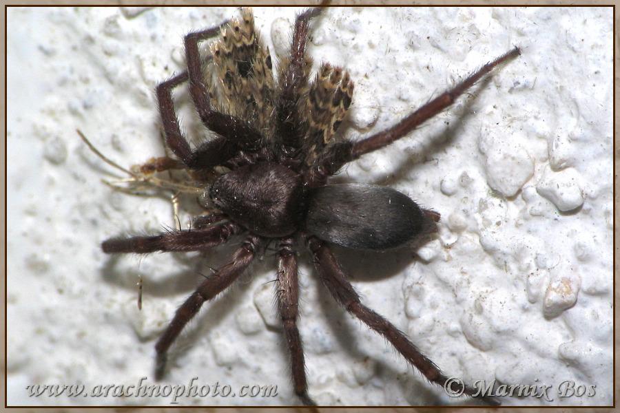 Genus <em>Scotophaeus</em>