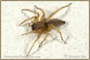 Genus Drassodes