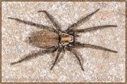 Genus Nomisia