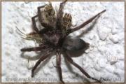 Genus Scotophaeus