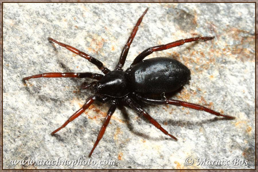 Genus <em>Trachyzelotes</em>