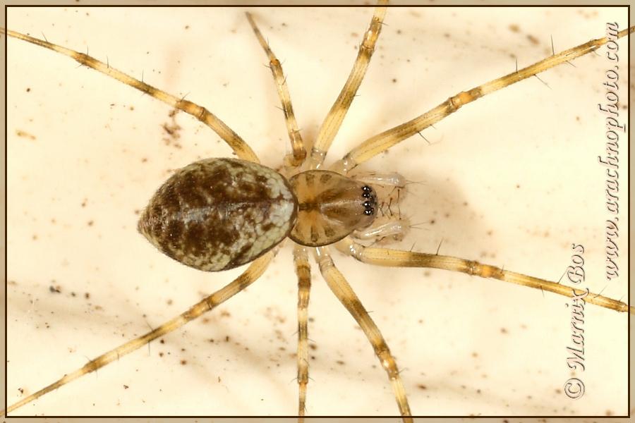 Genus <em>Drapetisca</em>