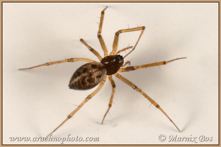 Genus <em>Lepthyphantes</em>