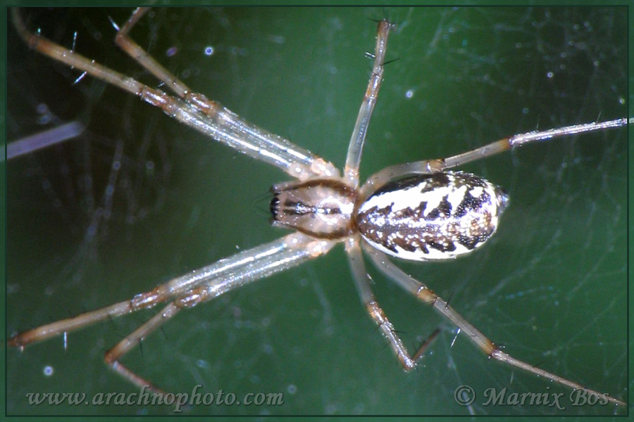 Genus <em>Linyphia</em>