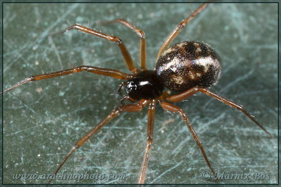Genus <em>Tenuiphantes</em>