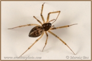 Genus Lepthyphantes