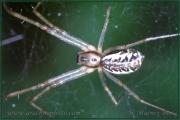 Genus Linyphia