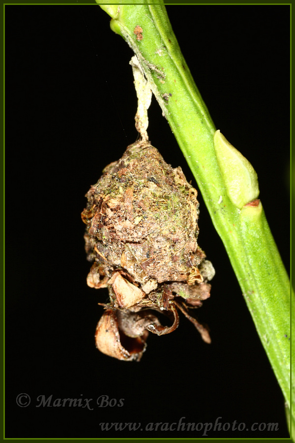 Genus <em>Agroeca</em>