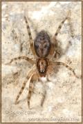 Genus Liocranum