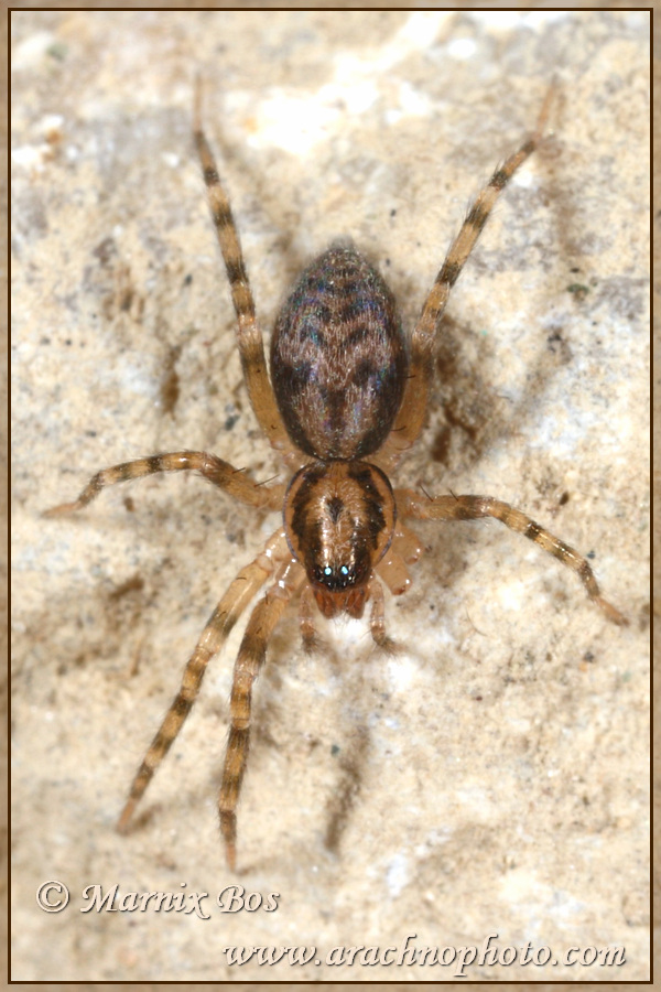 Genus <em>Liocranum</em>