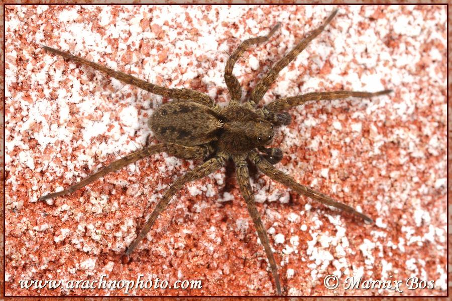 Genus <em>Pardosa</em>