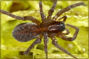 Genus Piratula