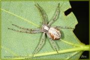 Genus Philodromus