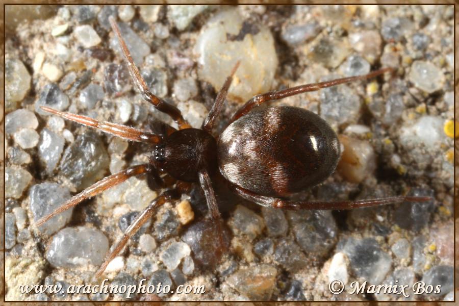 Genus <em>Phrurolithus</em>