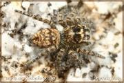 Genus Macaroeris