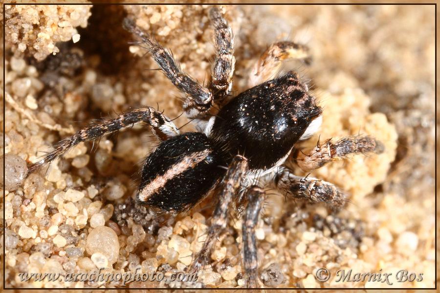 Genus <em>Aelurillus</em>