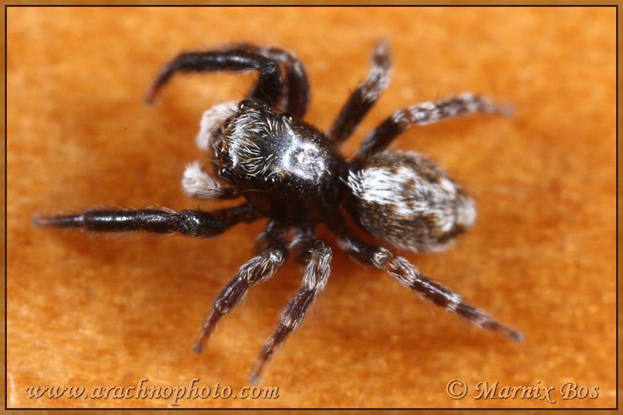 Genus <em>Pseudeuophrys</em>