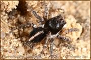 Genus Aelurillus