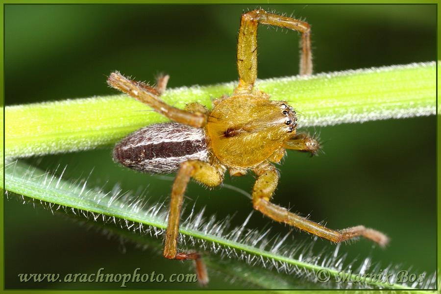 Genus <em>Micrommata</em>