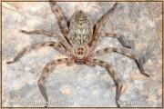 Genus Eusparassus