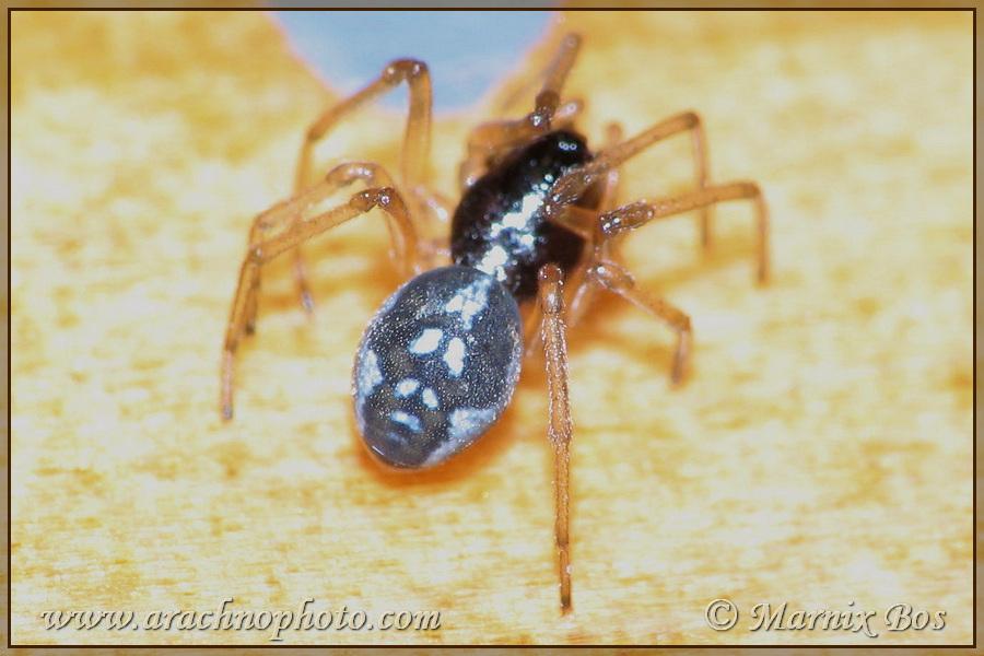 Genus <em>Pachygnatha</em>