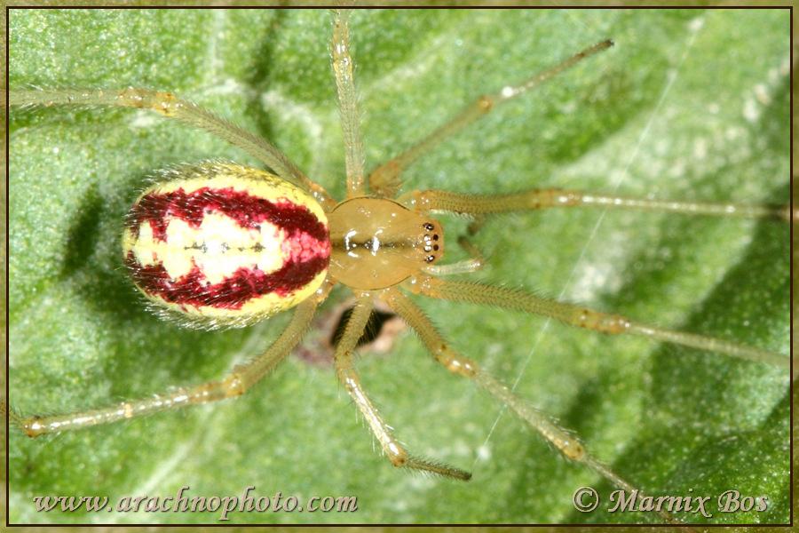 Genus <em>Enoplognatha</em>