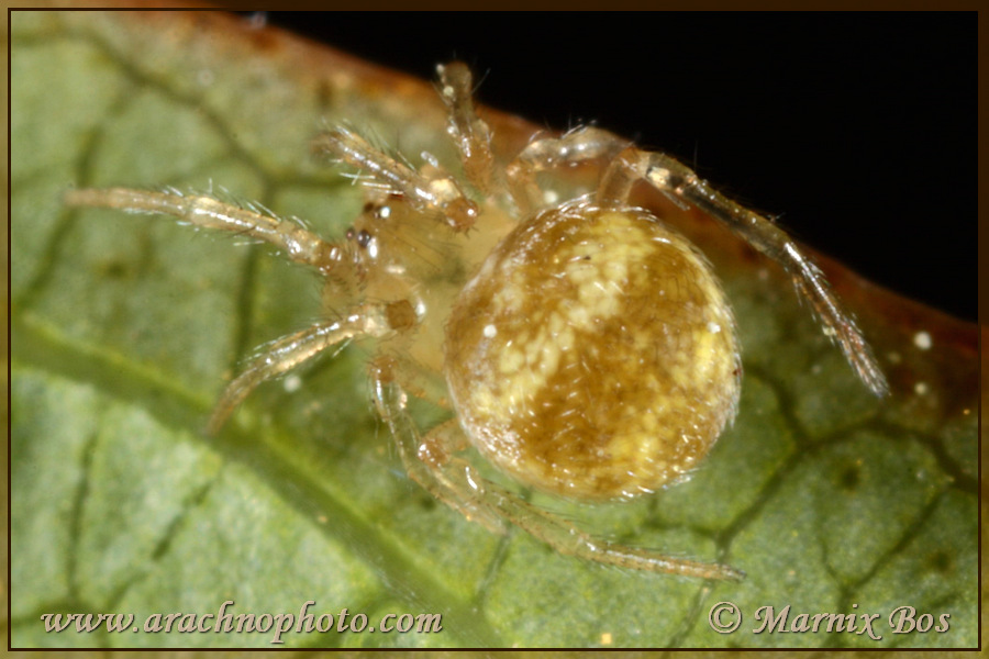 Genus <em>Paidiscura</em>