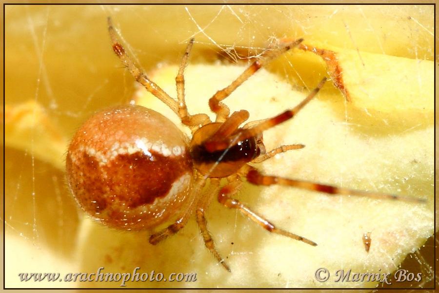 Genus <em>Anelosimus</em>