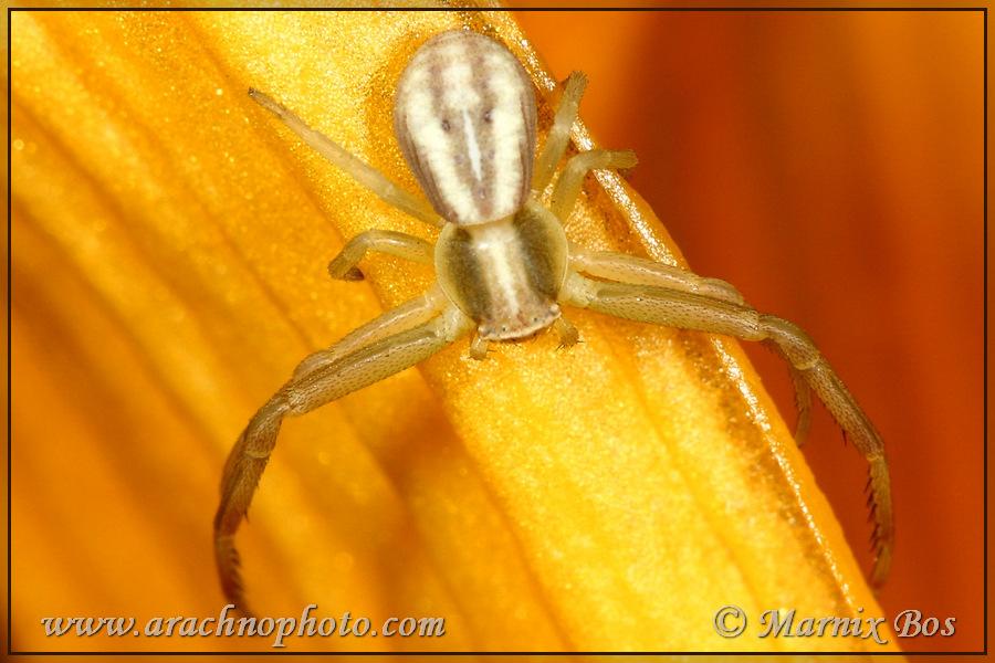 Genus <em>Runcinia</em>