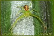 Genus Diaea