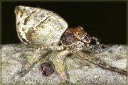 Genus Tmarus
