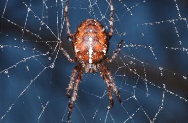 Araneidae <br>(Wielwebspinnen)