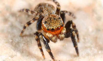 Salticidae <br>(Jumping Spiders)